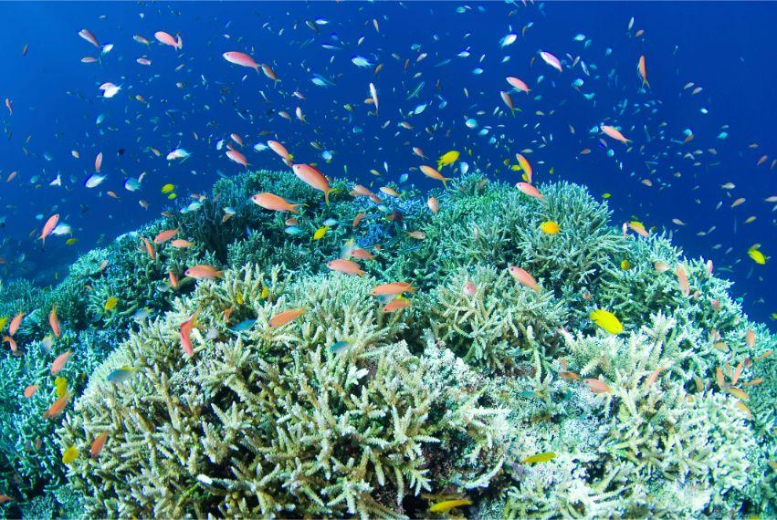 珊瑚礁に群れるアカネハナゴイ