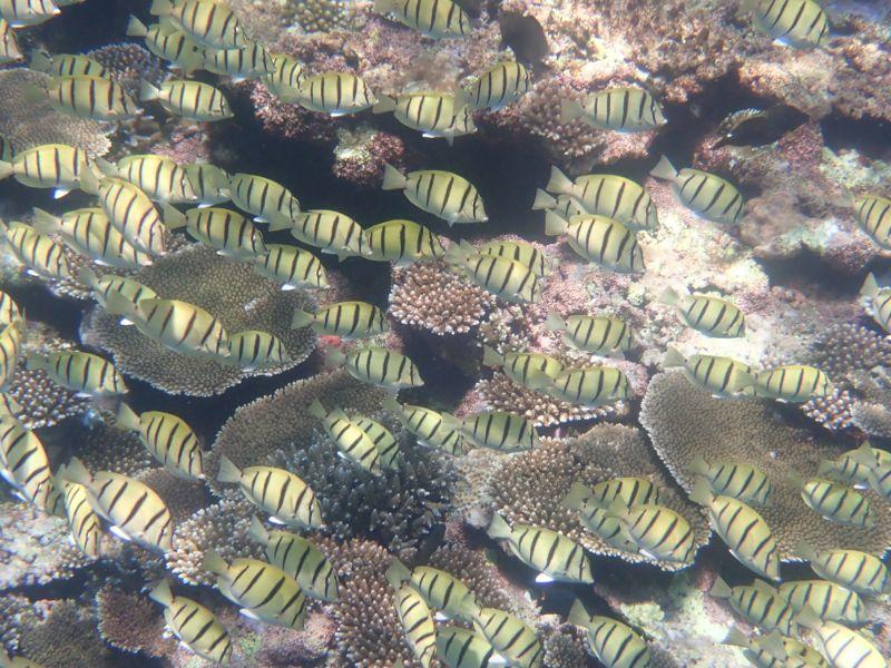 珊瑚礁に群れるシマハギ