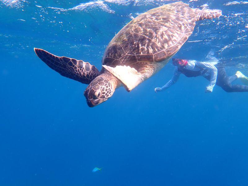 シュノーケルでウミガメを見ている女性
