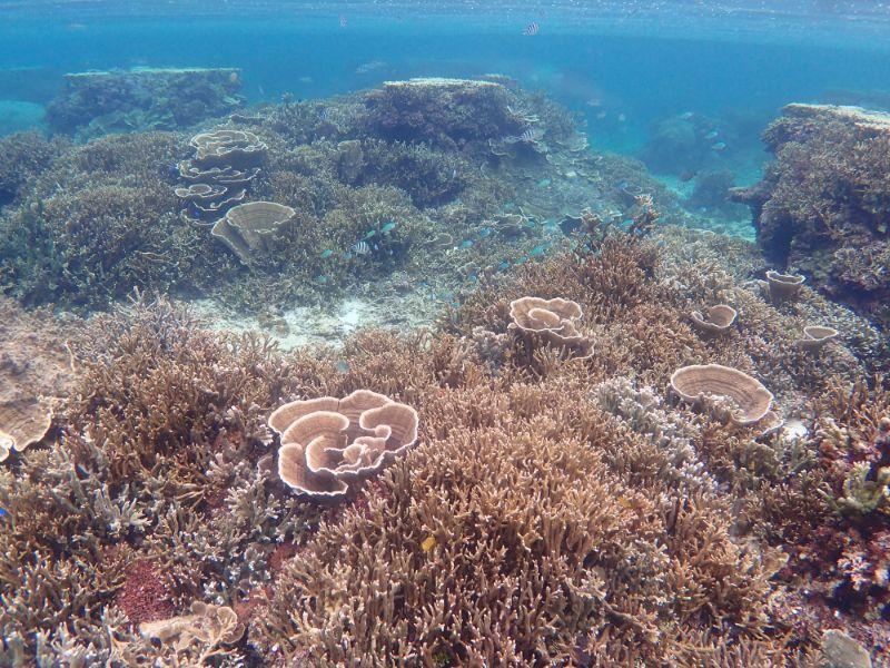 サンゴの群生
