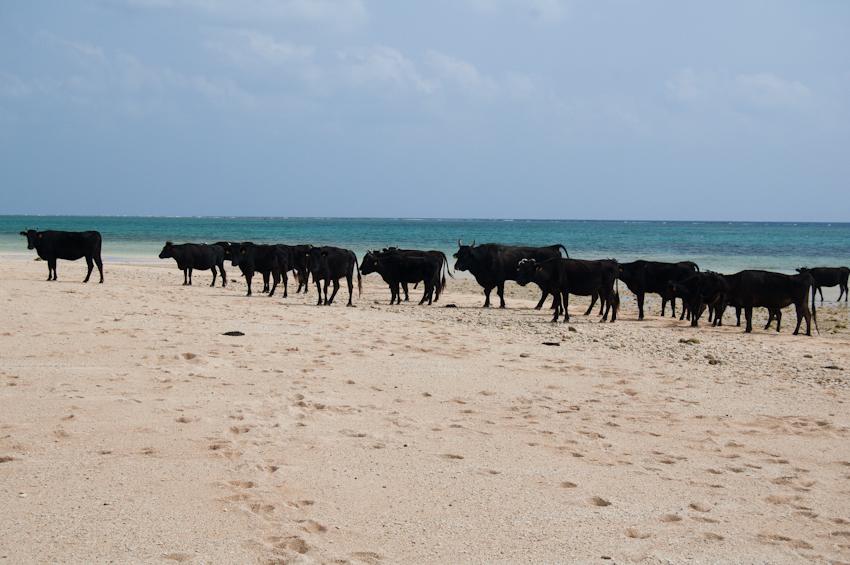 ビーチでくつろぐ牛
