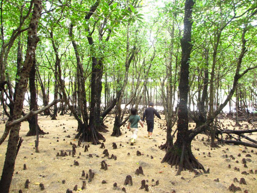 宮良川のマングローブ林を歩く子供